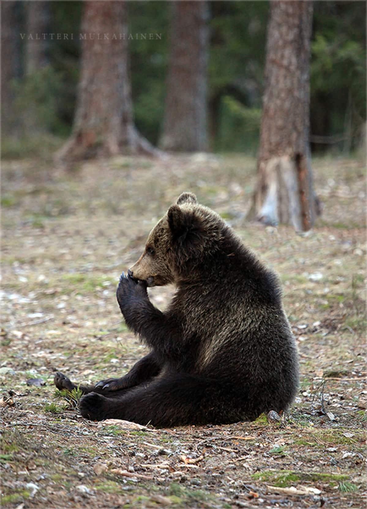 Karhunpentu istuu.