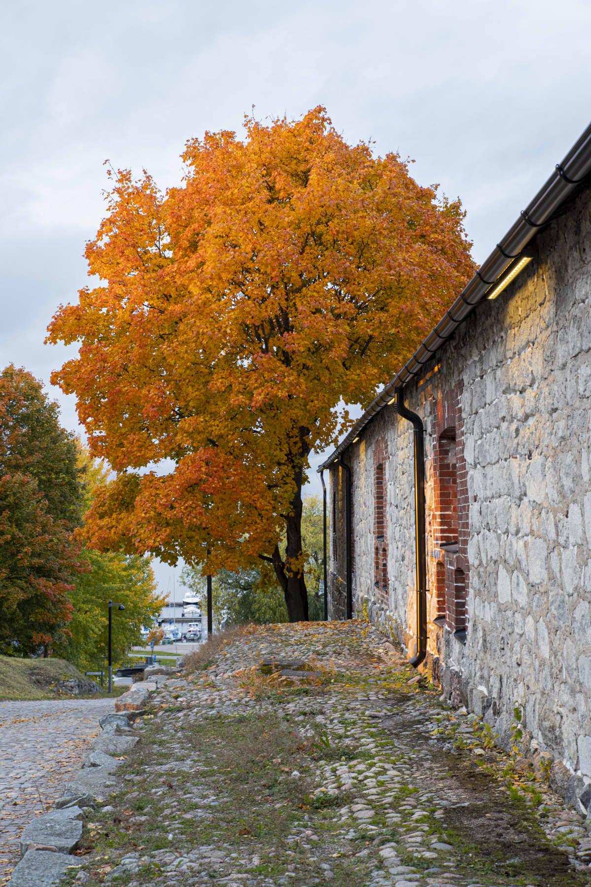 Vaahtera ruskan eri väreissä Lappeenrannan Linnoituksessa.