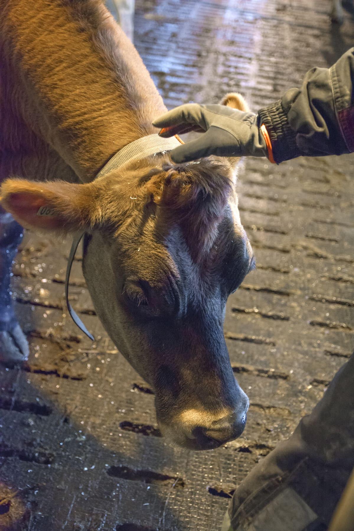 Ruskeaa lehmää rapsutellaan päälaelta.