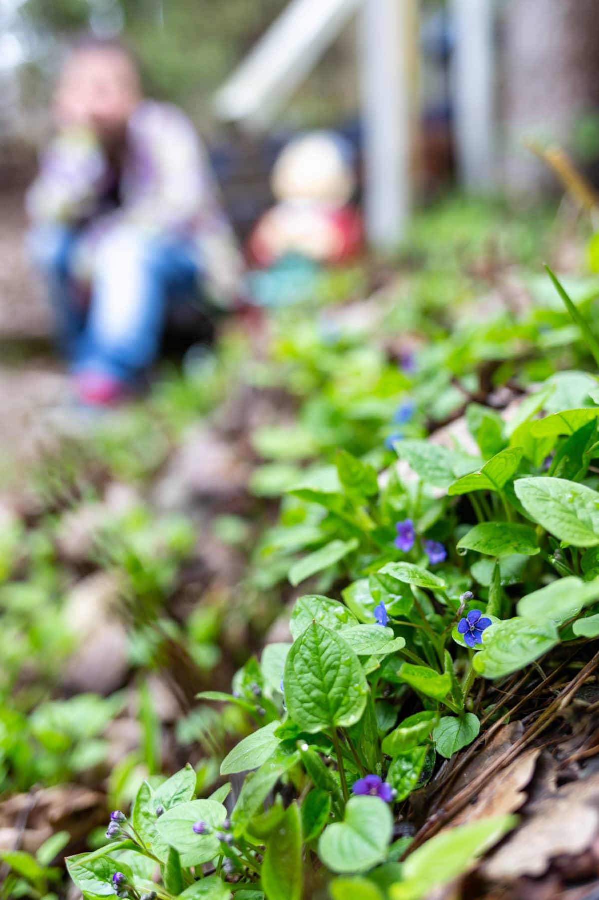 Etualalla sinikukkaisia kasveja, taustalla epäskarppina aikuinen ja lapsi.