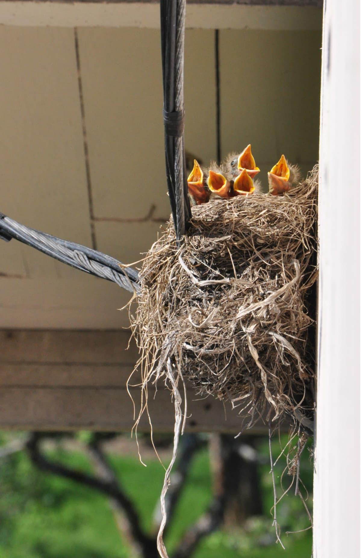 Fem fågelungar med stora gapande näbbar i ett fågelbo.