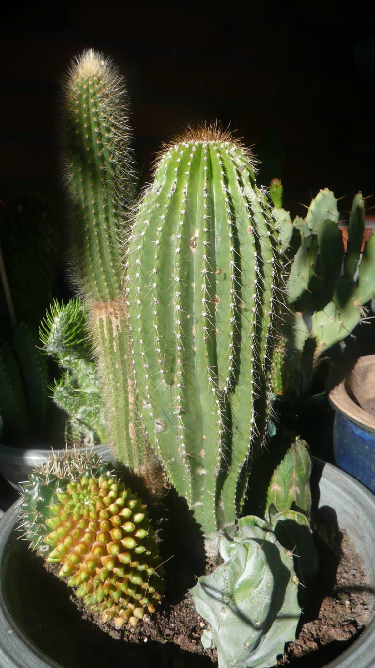 kaktuksia purkissa