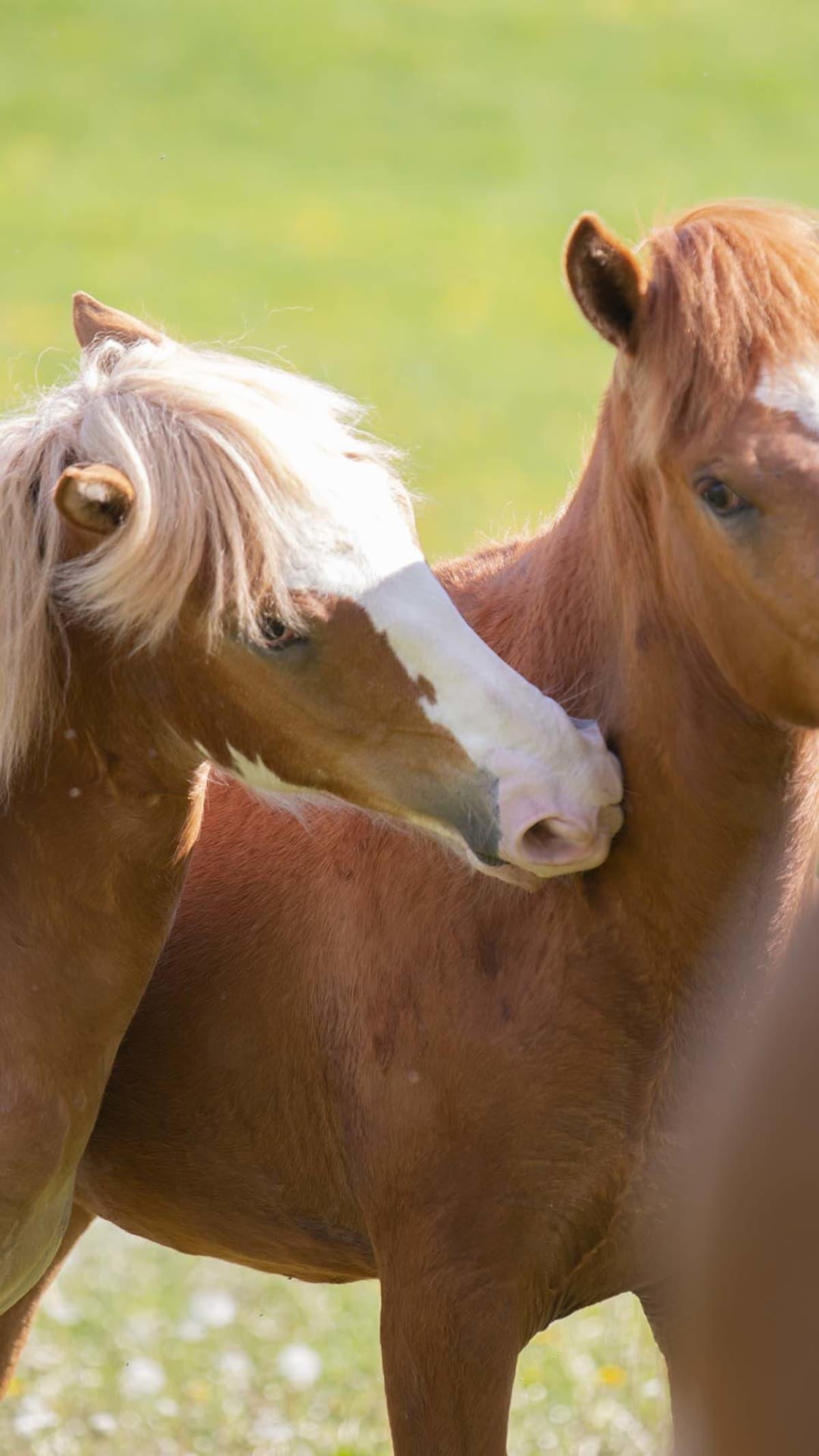 Hevonen rapsuttaa toista hevosta kaulasta.
