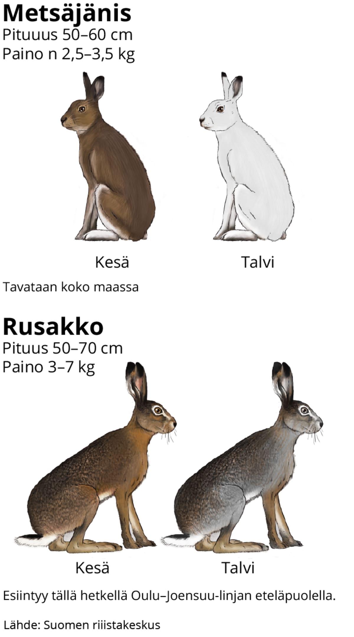 Metsäjänis: Pituuus 50–60 cm, paino n 2,5–3,5 kg, Rusakko:Pituus 50–70 cm, paino 3–7 kg
