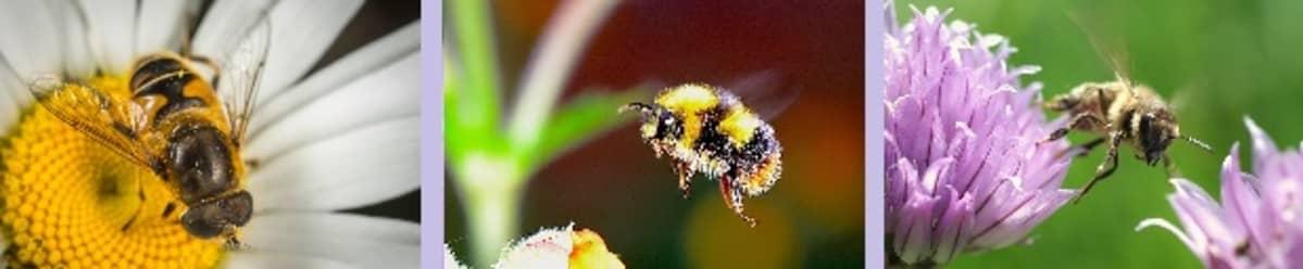 Kaksi mehiläistä ja kimalainen kukissa.