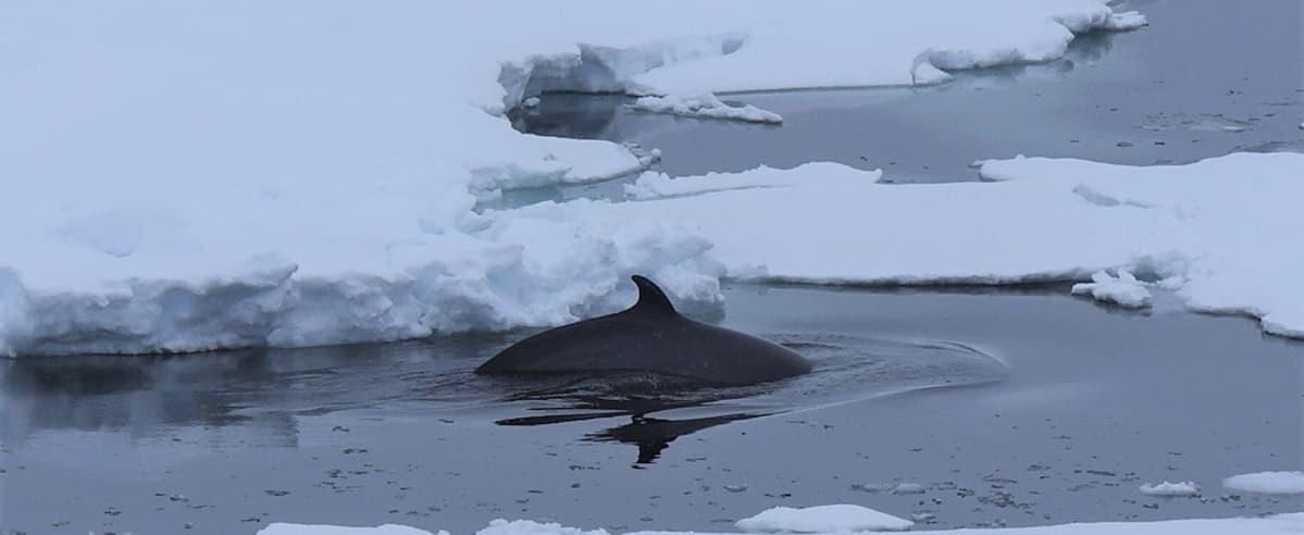 Valaan evä pilkistää jäiden seasta,