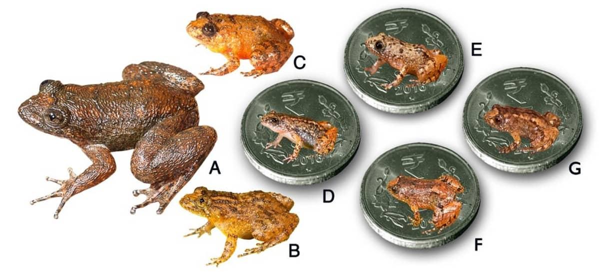 Seitsemän sammakkolaja. Neljä on aseteltu kolikon päälle.