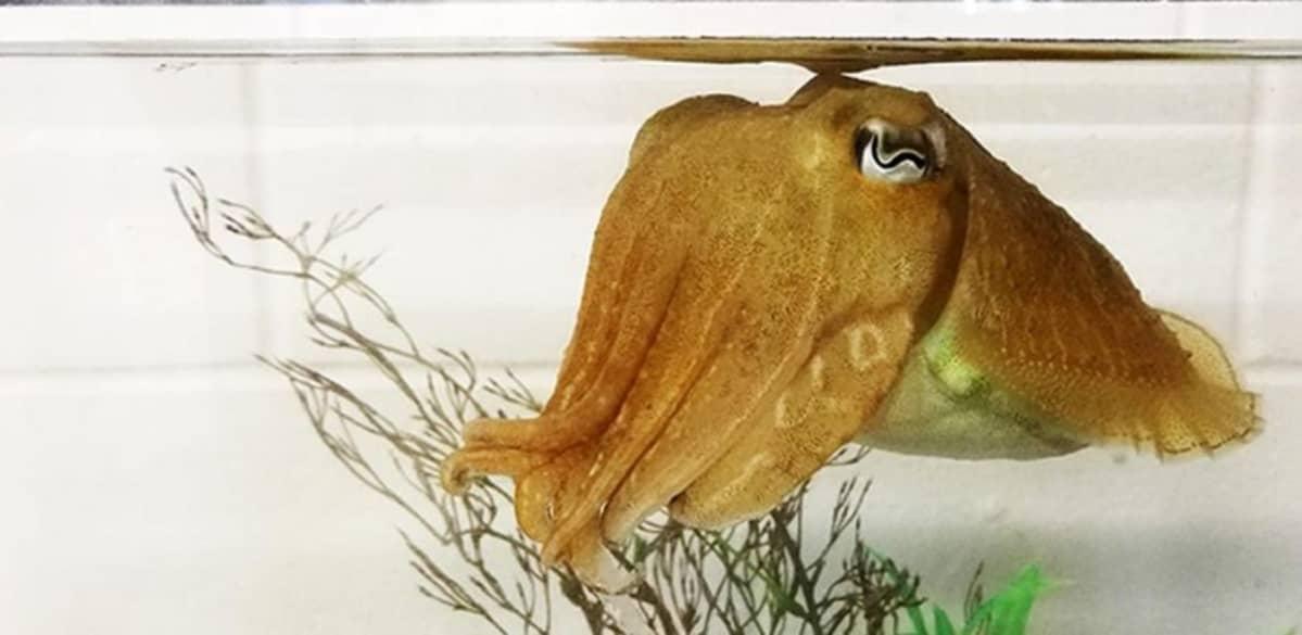 Seepia akvaariossa vesikasvin edessä.