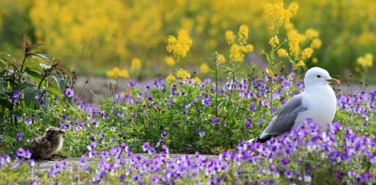 Kalalokin kelpaa pesiä Harakansaarella kauniiden kukkien keskellä.