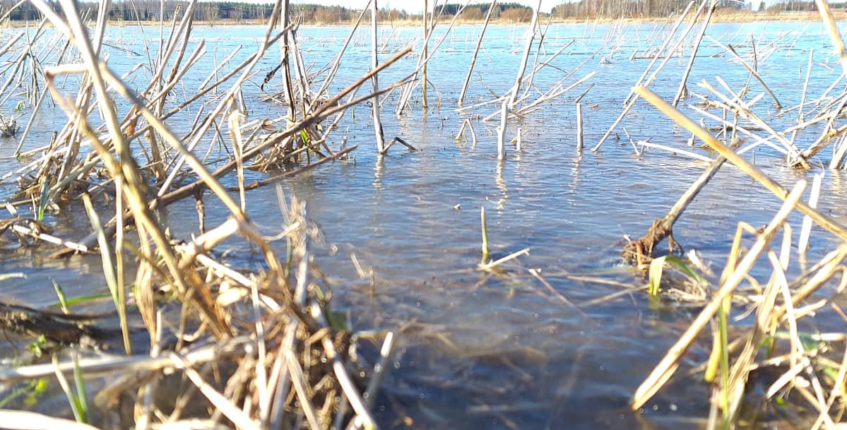 Kuminapelto tulvii Kauvatsalla.
