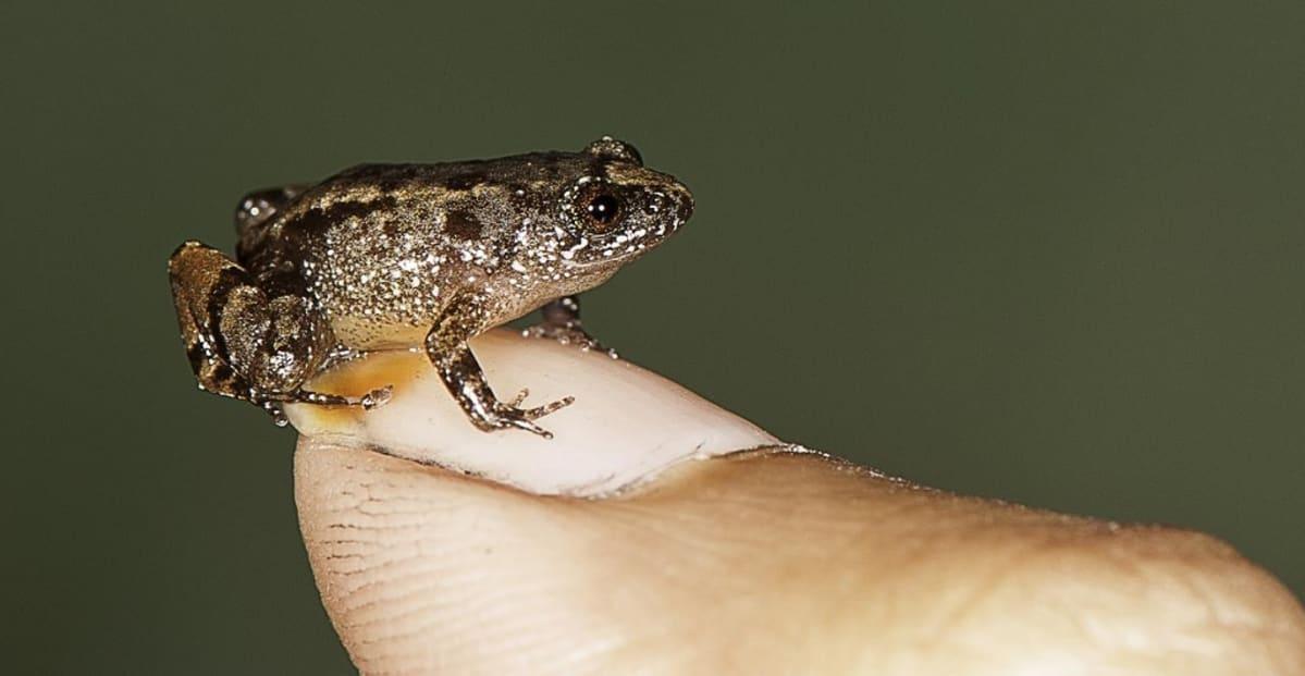 Pieni kirjava sammakko istuu ihmisen kynnellä.