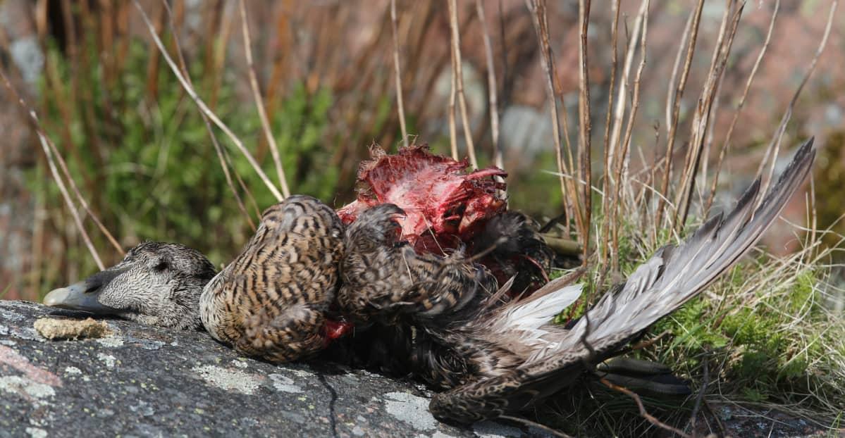 En bild på ett fågelkadaver. Fågeln är en ejder och ligger på ett berg. I bakgrunden syns gräs.