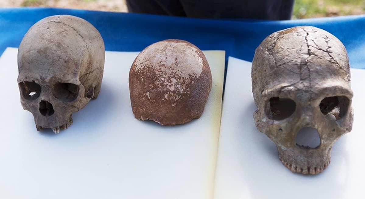 Homo sapiensin ja Neanderthalin kallot pöydällä