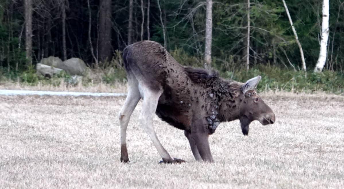 """Kuvassa etujaloilla """"polvillaan"""" pellolla oleva hirvi. Eläimen kaulassa ja kyljissä on patteja."""
