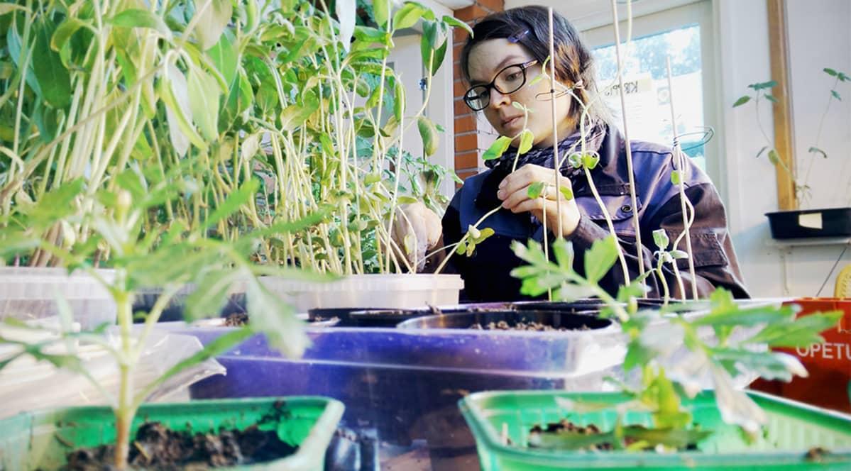 Milla Alavuotunki valmistlee kestävän kehityksen keskuksessa kesän taimia.