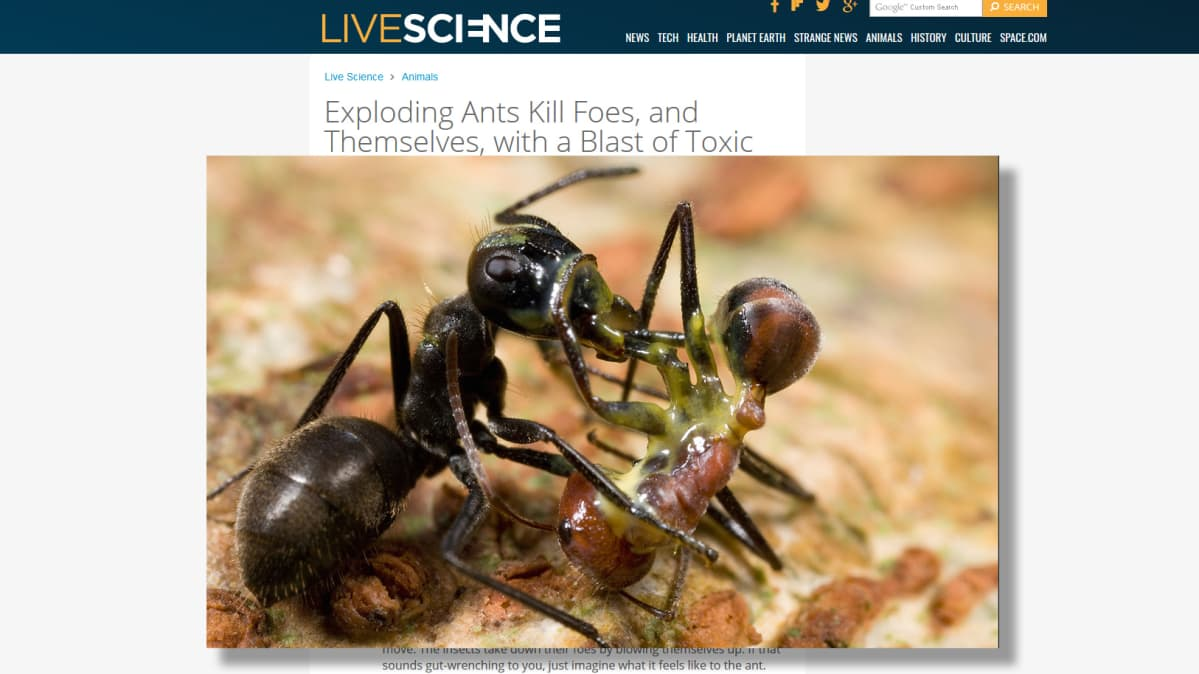 räjähtävä muurahainen