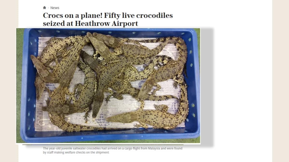 krokotiilin poikasia, jotka löydettiin lentokoneesta.