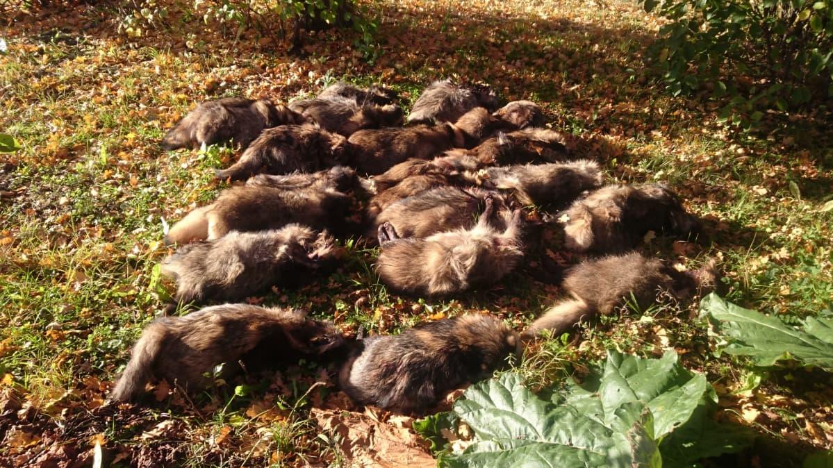 Kuolleita supikoiria pellolla.
