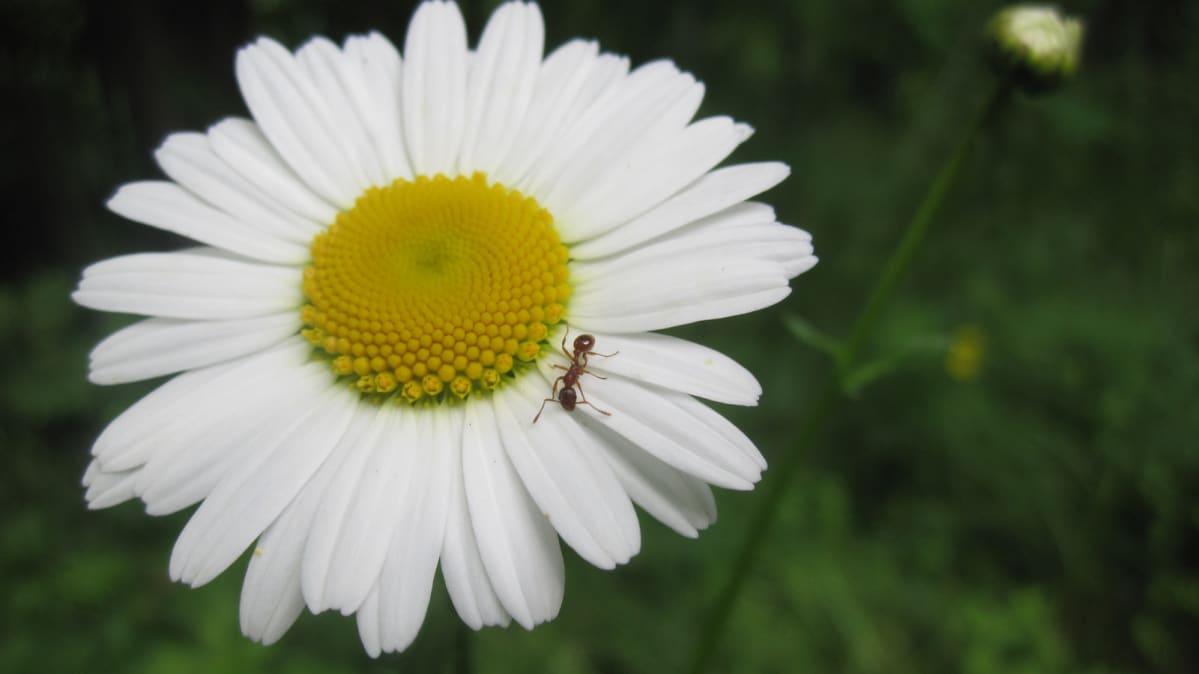 Muurahainen päivänkakkarassa