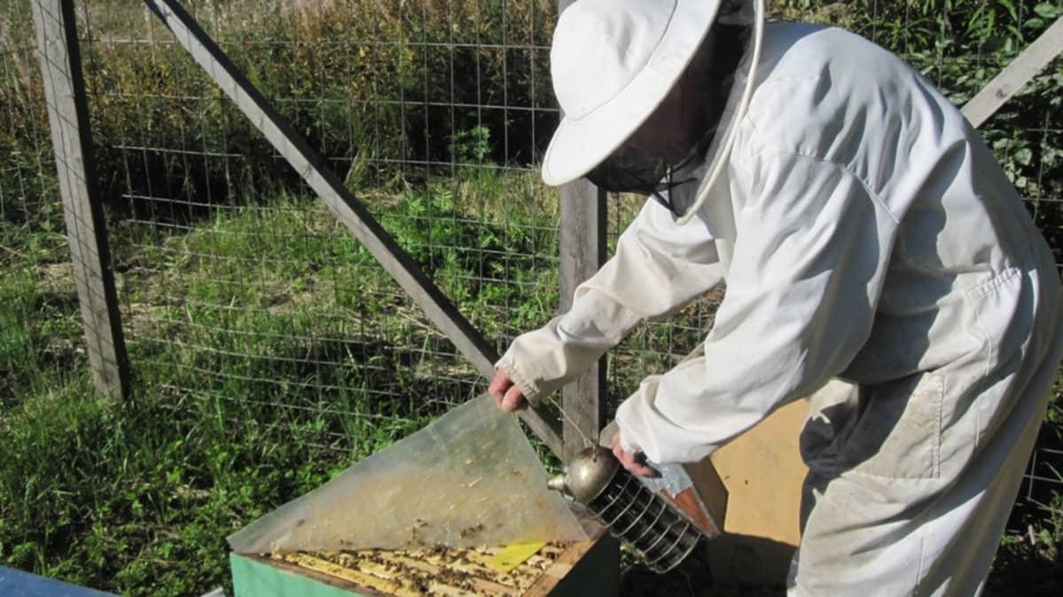 Mehiläistarhaaja kurkistaa pesään