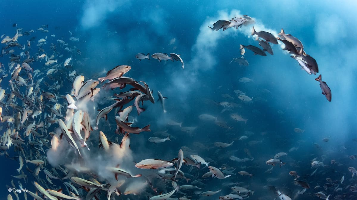 epa05593700 A handout picture provided by Wildlife Photographer of the Year. Snapper party, Tony Wu, US  Winner, underwater category For several days each month, thousands of two spot red snappers gather to spawn around Palau in the western Pacific Ocean. The action is intense as the fish fill the water with sperm and eggs, and predators arrive to take advantage of the bounty. Noticing that the spawning ran ?like a chain reaction up and down the mass of fish?, Wu positioned himself so that the action came to him. On this occasion, with perfect anticipation, he managed to capture a dynamic arc of spawning fish amid clouds of eggs in the oblique morning light.  EPA/TONY WU / WILDLIFE PHOTOGRAPHER OF THE YEAR Wildlife Photographer of the Year is developed and produced by the Natural History Museum, London.  HANDOUT EDITORIAL USE ONLY/NO SALES HANDOUT EDITORIAL USE ONLY/NO SALES