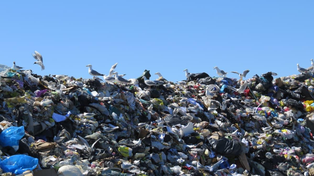 Roskakasa kaatopaikalla.