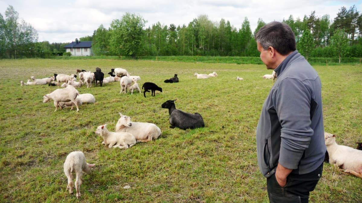 Anders Norrback tarkkailee laitumella olevia lampaita