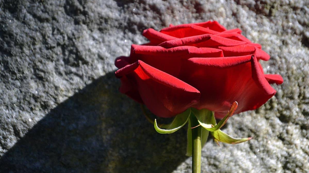 Ruusu kiveä vasten