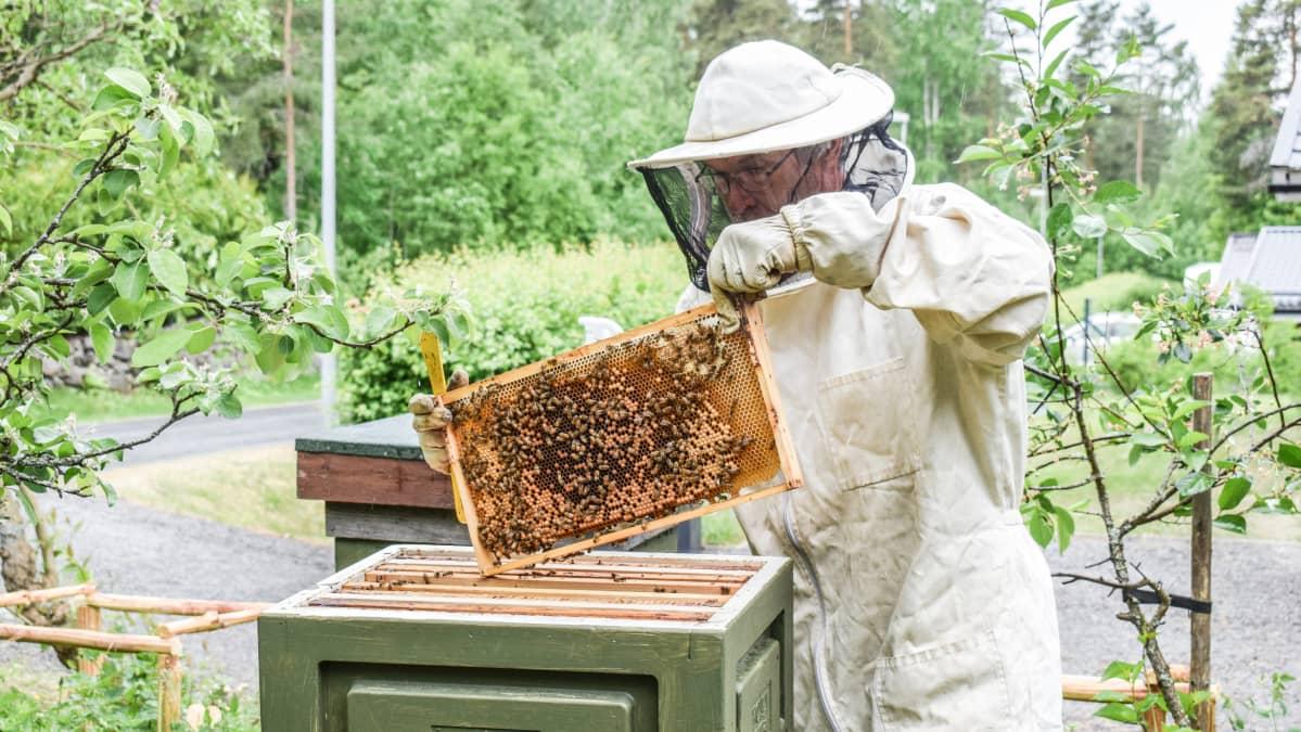 Matti Pylvänäinen ja mehiläispesä.