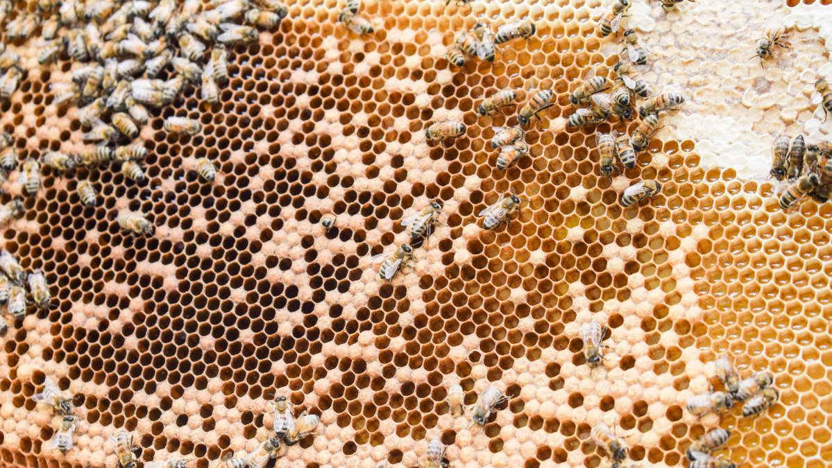 Hunajaa hunajakennossa mehiläispesässä.