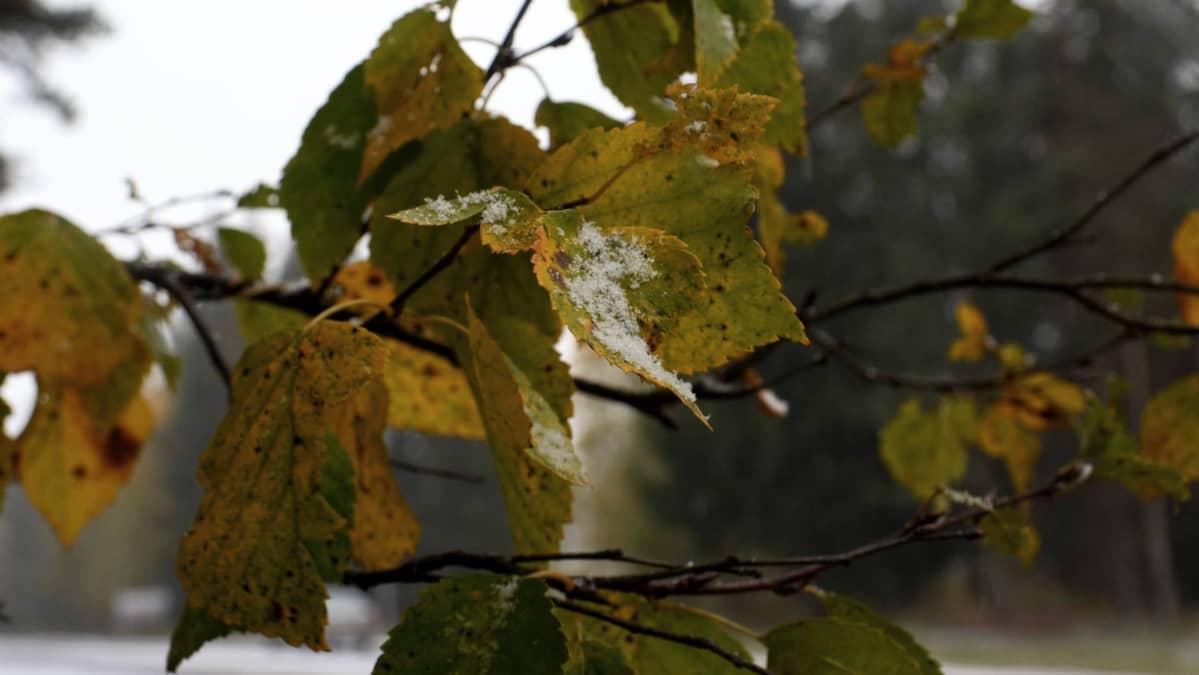 ruska puunlehti lumi luonto