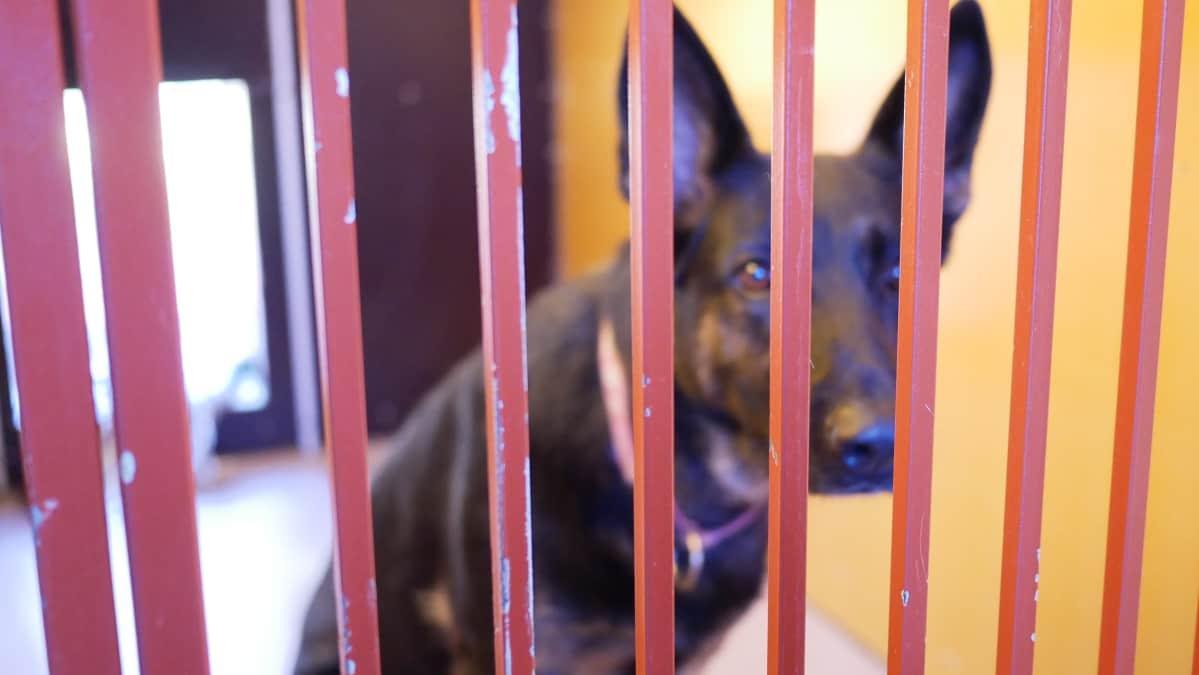 Koira odottaa omistajaansa löytöeläinkodissa.