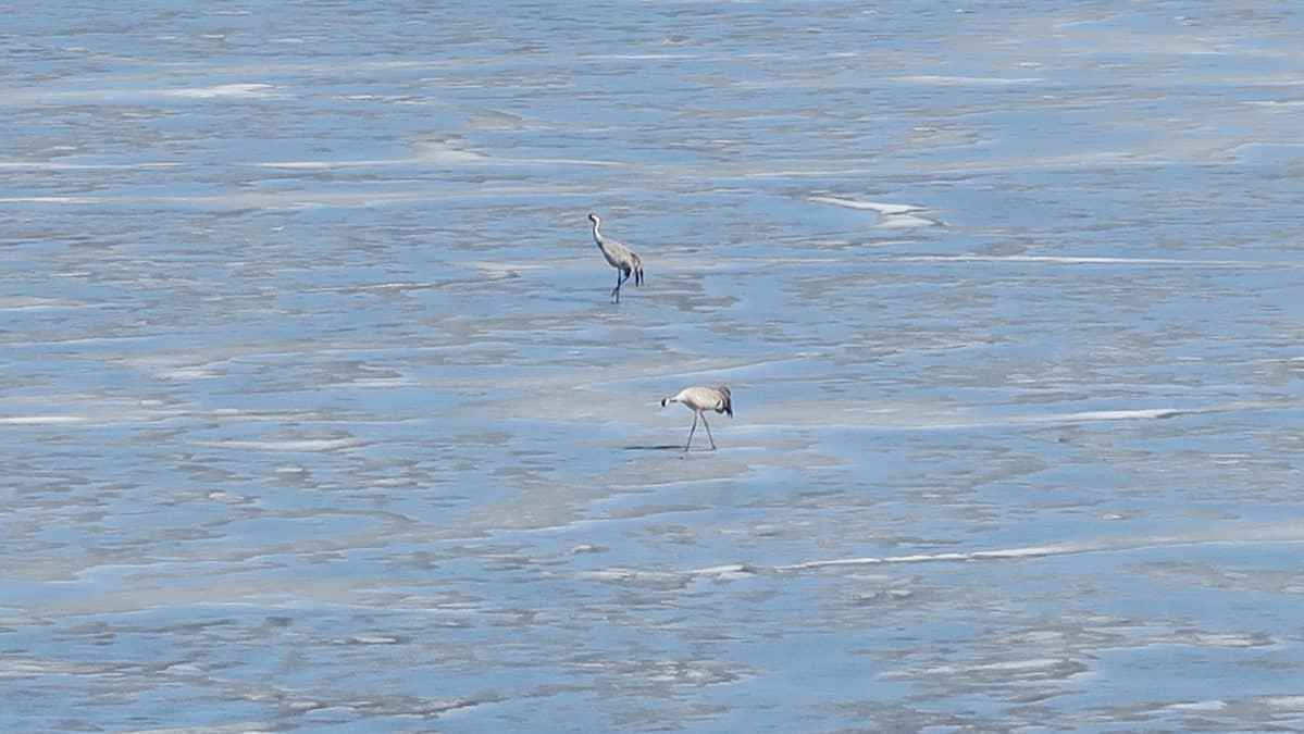 Kurkia Koijärven jäällä