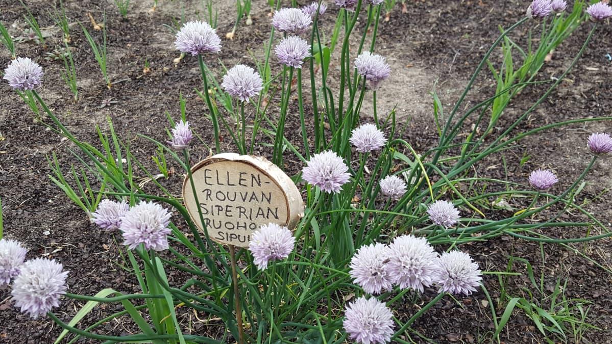 Kotkaniemen puutarhan ruohosipuli, jonka  Ellen toi Siperiasta