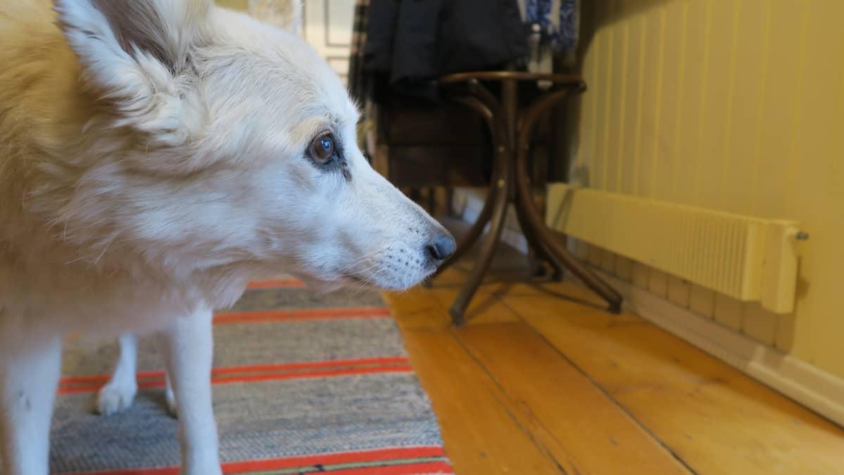 Marianna Kurton 16-vuotias koira Sofi vahtii Eeva Joenpellon perintöä vielä muutaman viikon ajan.