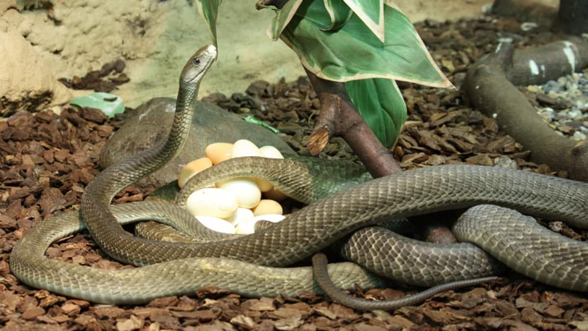 Mustamamba ja munat Tropicariossa