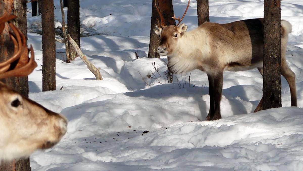 Porot talvisessa metsässä