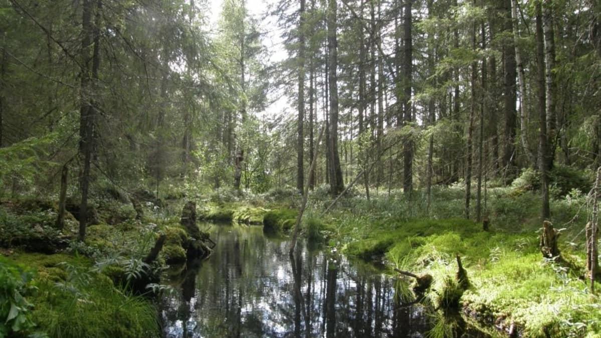 Metsäpuro Evolla Hämeenlinnassa