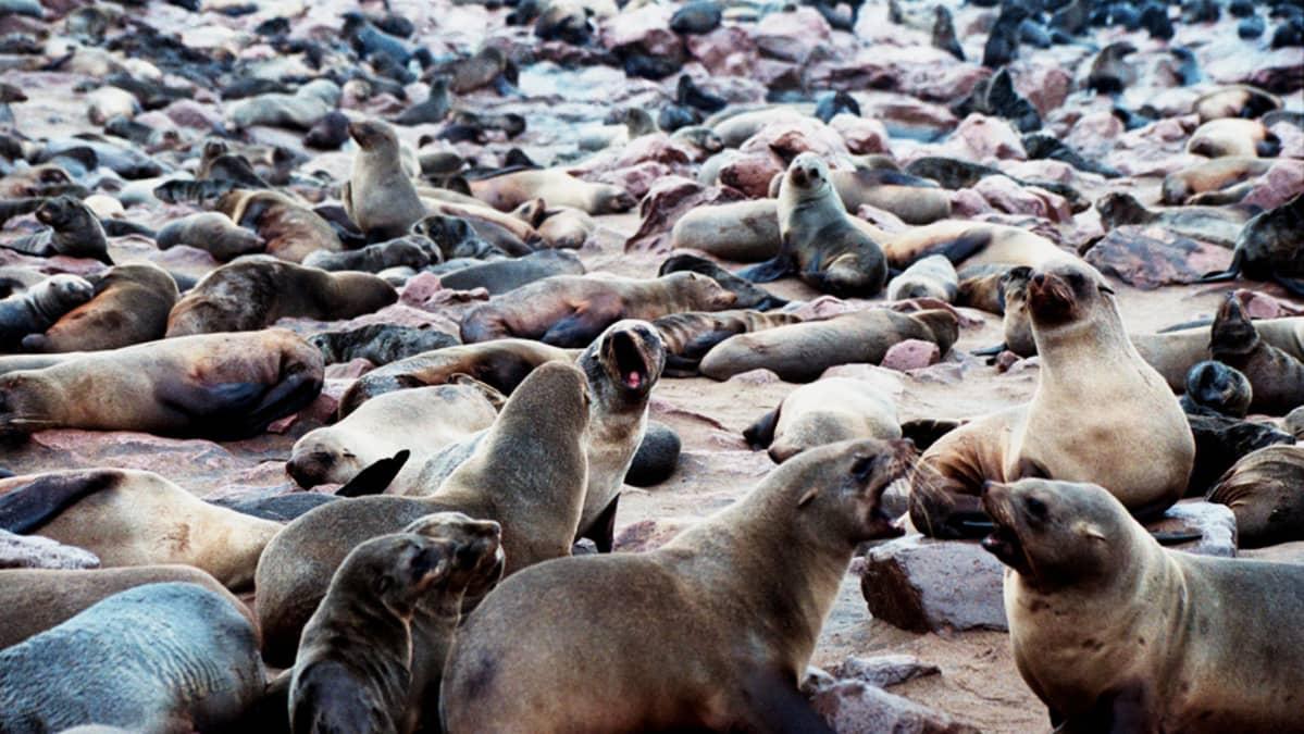 Hylkeitä Cape Crossissa Namibian rannikolla.