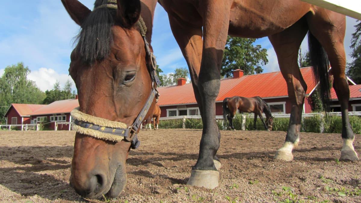 Hevonen syö ruohoa Messilän tallin tarhassa.