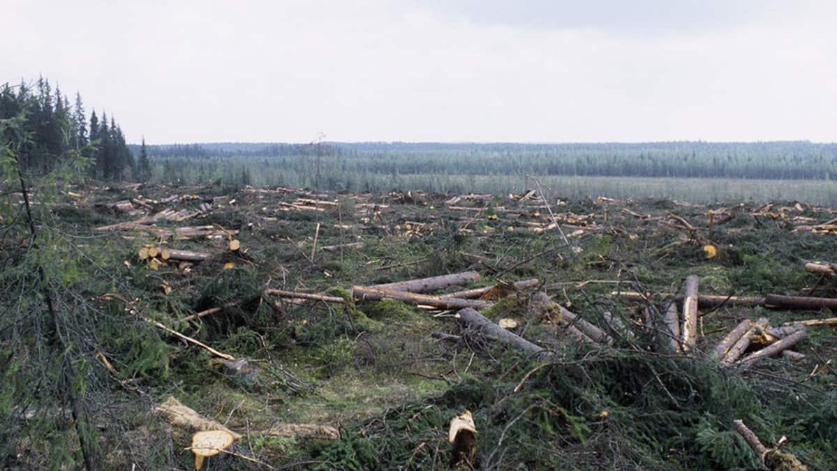 Kaadettuja puita hakkuuaukealla