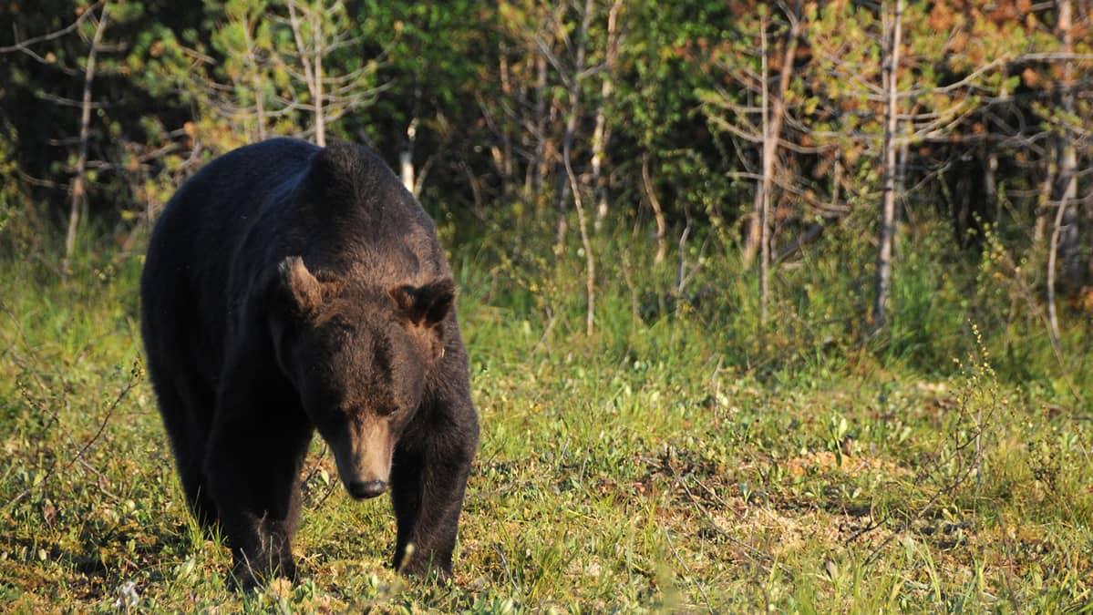 Karhu kävelee eteenpäin metsän reunalla.