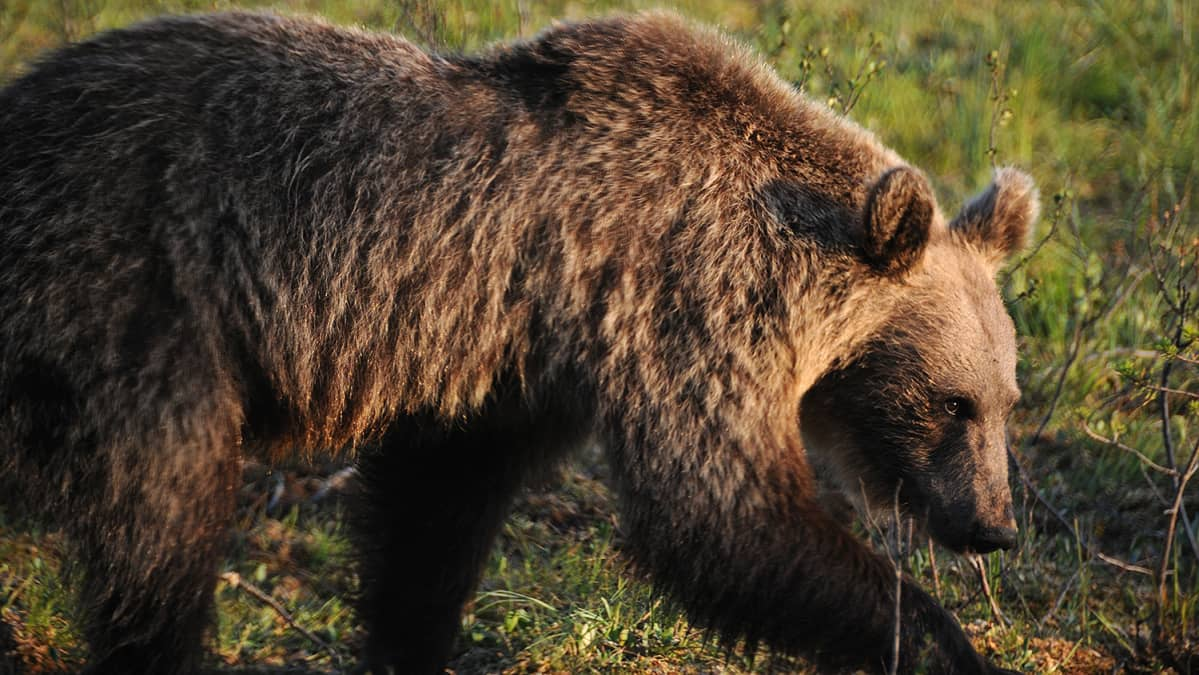 Vuosikas karhu kävelee eteenpäin pää kumarassa.