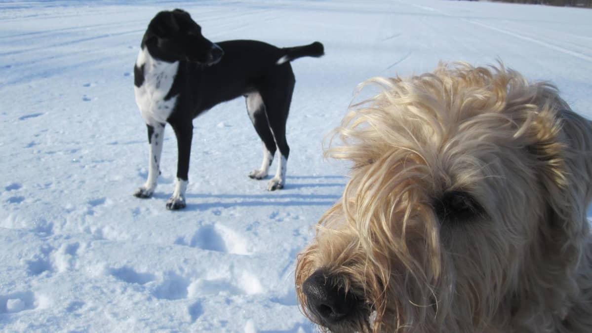 Kaksi koiraa jäällä