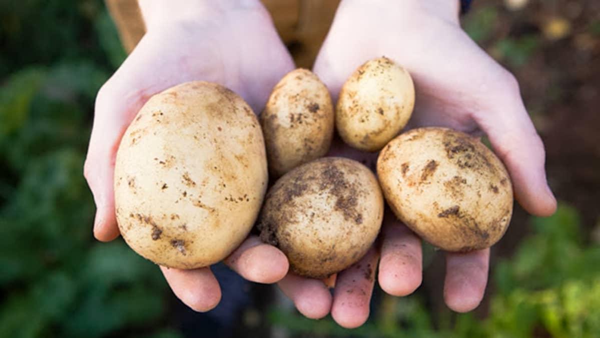Permaculture Boys perunat