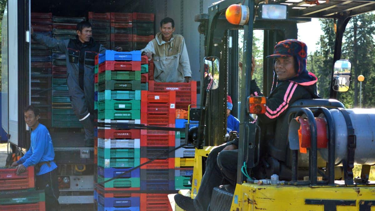 Thaimaalaiset lastaavat mustikoita rekkaan