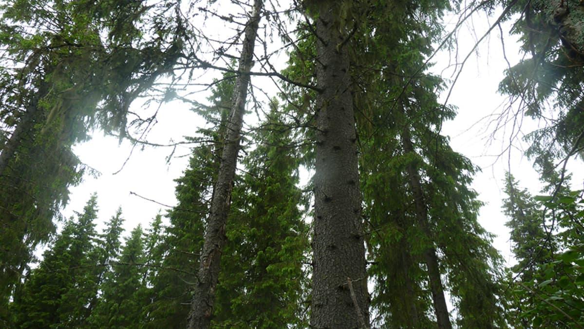 metsä, kuusia, kuusimetsä
