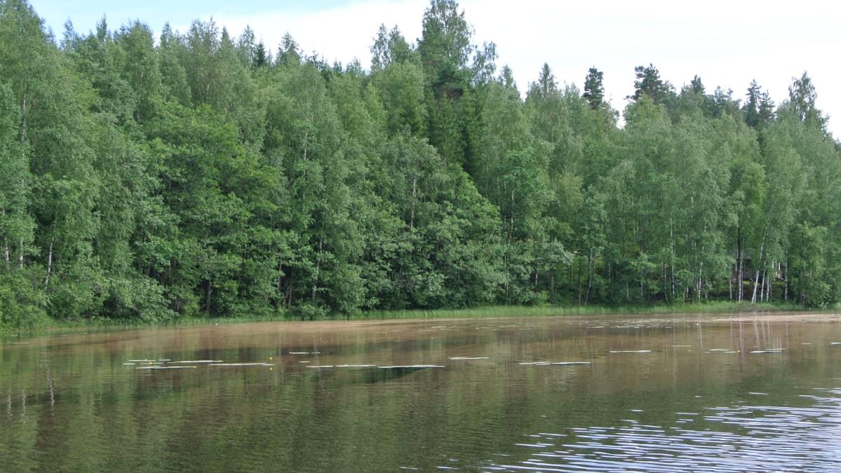 Kuusensuopursuruostesienen itiöiden värjäämää vettä Lappeenrannan Suurella-Sarkasella.