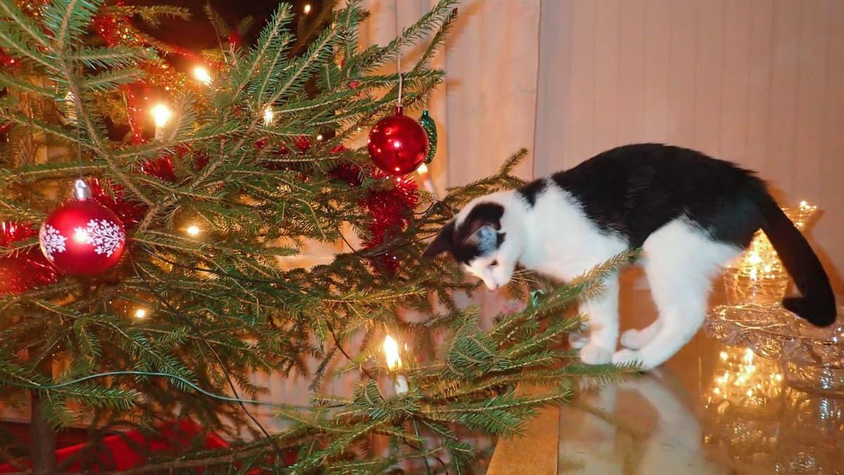 Joulukuusi ja kissa