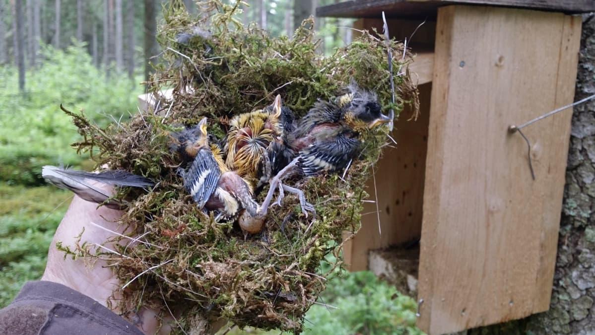 Pönttöön kuolleita linnunpoikasia